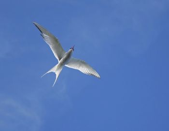 Arctic Tern and Sky