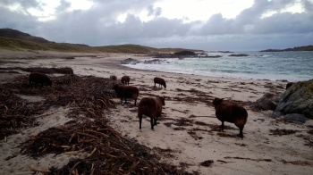Sheep on the north Beach, Iona