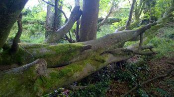 Fallen Tree Tremenheere