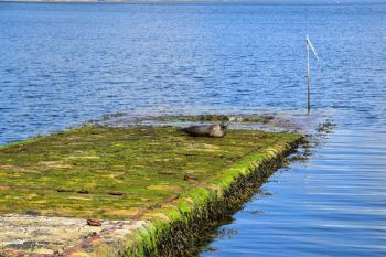Seal on slipway to Mousa Broch