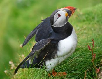 puffin close up smaller file