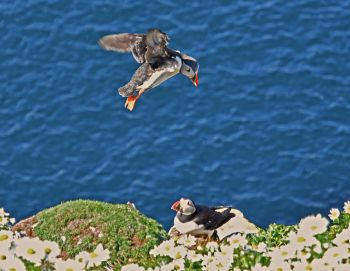puffin flight 1 smaller file