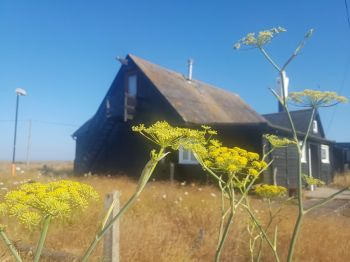 Angelica at Dungeness