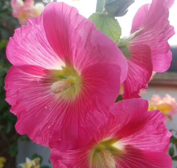 cropped hollyhock small file