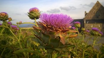 thistles near Abbey Iona